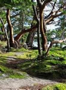 Arbutus trees near Victoria, BC